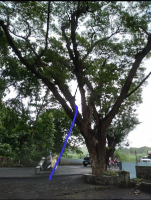 This tree is located in Aarey colony Mumbai.